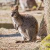 Känguru im Tierpark Bretten