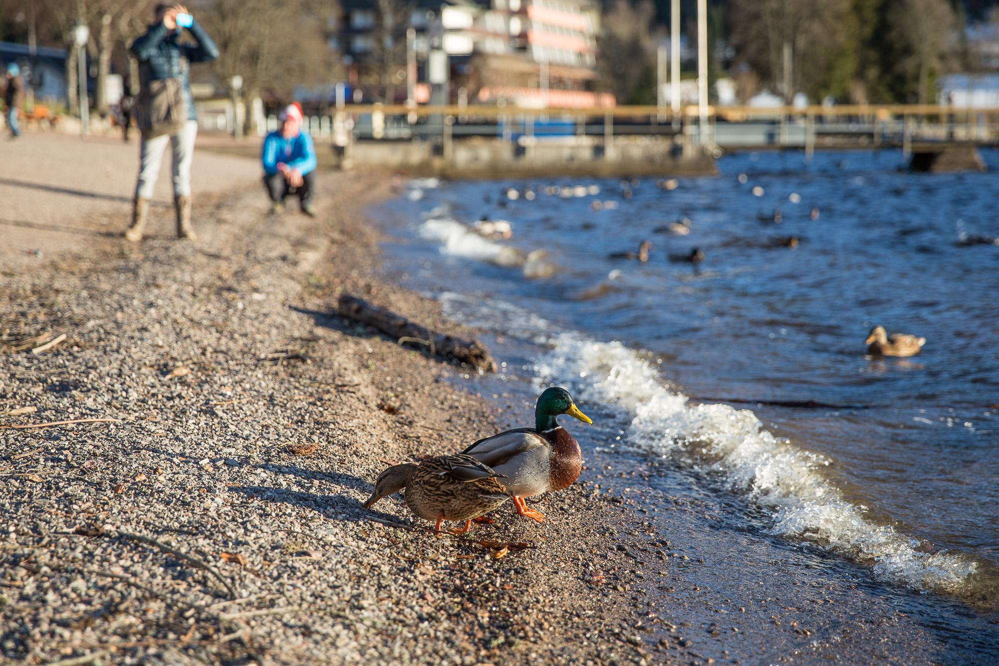 Ein paar Enten am Ufer des Titisee