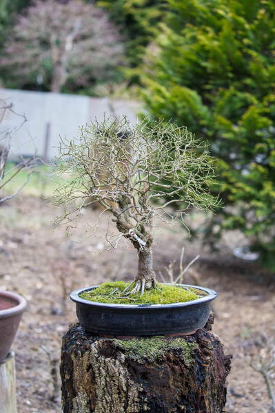 Bonsai Bretten
